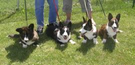 Simon puppies