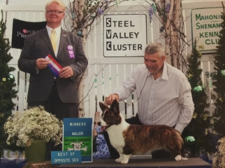 Queenie winning her first Major under Corgi expert Judge Bill Shelton