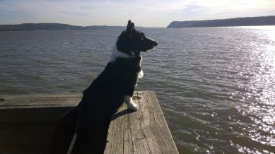 """Dandie looking over the Hudson River. """"I wonder if they have more treats on the other side?"""""""